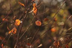 Il cugy mi ha fatto il regalo. (SimonaPolp) Tags: tree smoketree november fall foliage wood forest light day bokeh leaves morning sun macro nature outdoor sunday bianchi io me