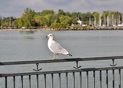 Treats please, HFF (shireye) Tags: whitby ontario lyndeshoresconservationarea nikon d610 24120 ff fullframe fx seagull lyndecreek fence hff happyfencefriday