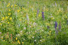 Wyoming Wildflowers (GlobalGoebel) Tags: canonef24105mmf4lisusm canoneos5dmarkiii 24105mm wildflowers flowers upper granite canyon wyoming grand teton national park tetoncresttrail