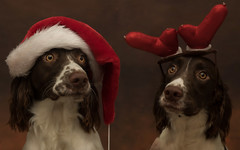 Cassie & Bessie (ToriAndrewsPhotography) Tags: springer spaniels dogs christmas theme antlers santa hat merry photography andrews tori