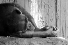 Sleeping Chimpanzee (RV Bob) Tags: animal zoo sydney tarongazoo australia gx85 chimpanzee monochrome blackandwhite