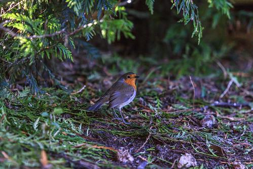 Robin in Hiding