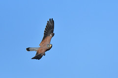 Common Kestrel (myu-myu) Tags: nature bird wildbird commonkestrel falcotinnunculus nikon d500   japan
