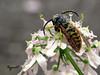 piège... (Phrygane57) Tags: gouttelettes guêpe bokeh fleur macro blanche