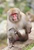 Scratch (iorus and bela) Tags: snowmonkeys japan monkey monkeys japanesemonkey yudanaka iorus bela september summer zomervakantie snowmonkeysinthesummer asia travel macaque japanesemacaque wild wildlife