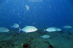 IMG_0156 copy (Aaron Lynton) Tags: spanish dancer snorkel scooter maui hawii hawaii canon g1x spanishdancer turtle honu tako octopus ocean animals papio yellowspotpapio starfish