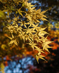 Yellow autumn leaves (shinichiro*) Tags: 20161122sdim0568 2016 crazyshin sigmasd1merrill sd1m sigma24105mmf4dgoshsm autumn november niiza saitama japan jp 新座 平林寺 紅葉 黄葉 31424702655