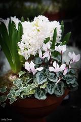 hyacinths (judy dean) Tags: judydean 2016 sonya6000 flowers hyacinths cyclamen ivy wintery white