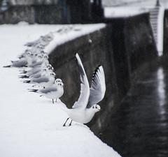 Start Order (CoolMcFlash) Tags: winter animal bird seagull vienna austria canon eos 60d snow cold wings tamron tier vogel möwe wien österreich donaukanal flügel kalt schnee weis white fotografie photography b008 18270 row hintereinander focus fokus