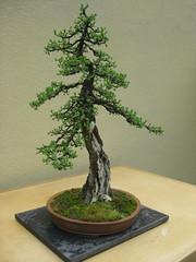 Larix laricina-19 (The Tree Library (TreeLib.ca)) Tags: tamarack larixlaricina
