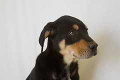 Rolo the 8 week old Adoptable Shepherd/Rottweiler Mix (Immature Animals) Tags: arizona rescue puppy nose google mutt mix eyes flickr young ears az rottweiler marshall foster derek bark pup adopt rottie petco snout rolo facebook petfinder derekmarshall petcofoundation
