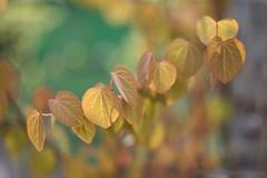 IMG_0531s25FAD (Foto_A_Day) Tags: leaves hearts spring fuji bokeh 55mm photoaday m42 f18 breeze fujinon ebc wideopen