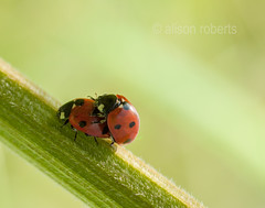 Togetherness (Ali -1963) Tags: red love insect nikon pair ladybird ladybug d5000 alisonroberts tamron90mm28mm