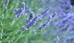 Lavander (aniribe) Tags: flower color nikon lavander