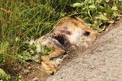 RoadKill (gripspix) Tags: nature hare natur roadkill hase überfahren feldhase 20140612