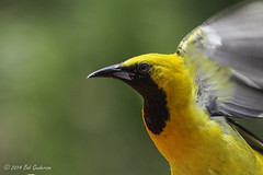 Hooded Oriole (Bob Gunderson) Tags: sanfrancisco california northerncalifornia missiondistrict hoodedoriole icteruscucullatus orioles