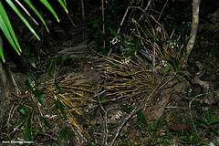 Thelychiton howeanus (Dendrobium gracilicaule var. howeanum) - Lord Howe Island, NSW (Black Diamond Images) Tags: flowers orchidaceae nsw lordhoweisland arfp thelychiton lhrfp arfepiphyte australianrainforestflowers arfflowers whitearfflowers subtropicalarf australianrainforestflora kimslookouttooldsettlement dendrobiumgracilicaulevarhoweanum thelychitonhoweanus comment72157606451416793database