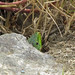 Green Lizard / Lézard Vert