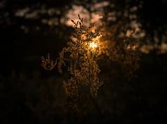 Backlight flower (Storkholm Photography) Tags: sunset summer sun flower nature yellow backlight forest dark 50mm evening nikon sweden bokeh 50mmf14 d610 mariefred södermanland