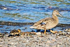 Walk this way (Squatbetty) Tags: duck lakedistrict duckling cumbria mallard coniston