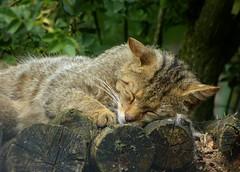 Biotopwildpark Anholter Schweiz - European wildcat (joeke pieters) Tags: zoo ngc npc tierpark dierentuin wildlifepark wildekat anholterschweiz felissilvestrissilvestris europeanwildcat platinumheartaward biotopwildpark panasonicdmcfz150 1160159