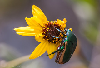 Feeding fig beetle