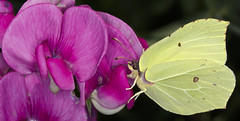 Delicious! (pe_ha45) Tags: butterfly papillon vicia ourgarden citron wicke schmetterling vetch zitronenfalter gonepteryxrhamni viciasepium unsergarten cedronella commonbrimstone papiliorhamni