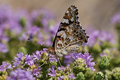Vanéssa cárdui (Steenjep) Tags: holiday butterfly greece ferie sommerfugl zakynthos vanessacardui grækenland distelfalter tidselsommerfugl vanéssacárdui