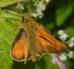 Large Skipper (Ochlodes sylvanus) (Claire Mayhew) Tags: summer macro nature butterfly wildlife skipper lepidoptera ochlodessylvanus largeskipper hesperiidae