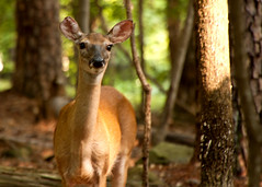 Greeter (1) (tommaync) Tags: trees brown nature oneaday animal female nose nc eyes nikon wildlife northcarolina ears august doe deer photoaday pictureaday 2014 chathamcounty greeter d40 project365 project365223 project365081214