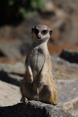 edinburgh zoo 02 (Avieb21) Tags: cute zoo meerkat edinburgh rzss