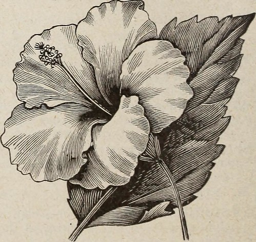 """Image from page 17 of """"Horsford's descriptive catalogue of hardy ornamentals herbaceous plants bulbs ferns shrubs and vines"""" (1894)"""