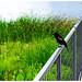 Red+Winged+Blackbird+Promenades+Down+the+Boardwalk