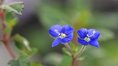 Veronica Georgia Blue (Big sis 4C) Tags: flowers blue july mygarden speedwell 2014 lapislazuli veronicageorgiablue