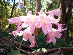 Woodside Sunday ~ 58. (Madonovan) Tags: pink summer august lillies woodside forests daytrips 2014 rockyromero addtoslideshow