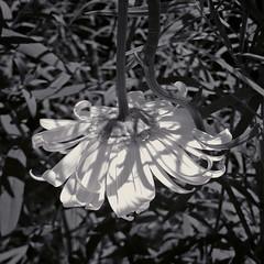 Blossoming Down (JeffStewartPhotos) Tags: blackandwhite bw flower broken square blackwhite blackberry down toned downwards z30 facingdown bb10 facingdownwards