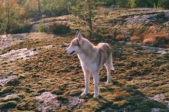 Arctic (daria.goltekova) Tags: dog sunlight film nature analog 35mm moss husky pentax stones siberianhusky fujifilm pentaxmesuper