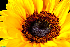 Sun flower (Marco Speranza) Tags: nature rose sunflower beautyinnature