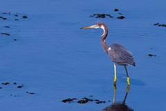 Tricolored Heron (Brian E Kushner) Tags: ocean new city color heron birds animals lens ed nikon wildlife nj tricolor jersey fl nikkor tri vr afs tricoloredheron egrettatricolor birdwatcher 800mm d810 nikond810 bkushner brianekushner nikonafsnikkor800mmf56efledvrlens f56e
