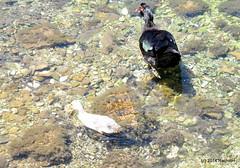 DSC_0328 (rachidH) Tags: sea lake birds geese mediterranean hellas ducks goose greece waterfowl kefalonia canard oiseaux muscovy oie karavomylos rachidh melissany
