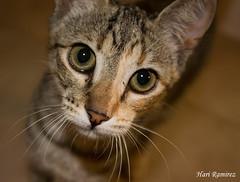 El gatito curioso (Hari Ramirez Photos) Tags: fuerteventura gatos animales mirada