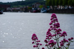 Red valerian (Daniel James Greenwood) Tags: england june bristol 2013 southwestengland nikond7000