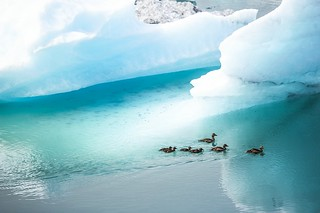 Ducks at glacier lagoon