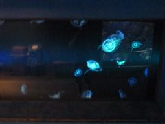 Jellyfish - Mduse - Qualle (Medusozoa) at Toronto Zoo, Ontario, Canada (Loeffle) Tags: toronto ontario canada zoo jellies jellyfish torontozoo kanada qualle mduse medusozoa 072014