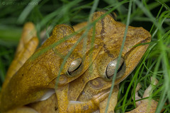 Four-lined Tree Frog, Polypedates leucomystax (Anthony Kei C) Tags: polypedatesleucomystax fourlinedtreefrog