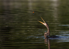 Anhinga playing catch (Rob & Amy Lavoie) Tags: