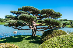 Japanese Garden at the Chicago Botanic Garden (chrisar676) Tags: usa chicago tree nature america japanesegarden see us illinois unitedstates sony unitedstatesofamerica natur amerika botanicgarden baum chicagobotanicgarden botanischergarten vereinigtestaatenvonamerika sonydscrx100m3