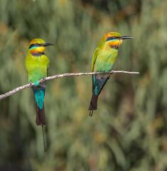 Rainbow Bee-eater pair (peter.carlsen) Tags: birds flycatcher australianbirds leadenflycatcher wildlifebeeeatersbirdsflycatchersspring2014woodgate