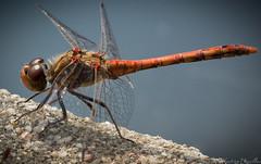 Libellule - Dragonfly - Liblula (sebastienpeguillou) Tags: macro closeup insect nikon dof dragonfly pov gorgeous details libelula tamron 90mm liblula libellule macrophotography macrophotographie d3200