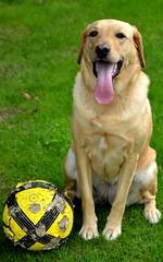 Fidle (Alexis Pelletier) Tags: dog chien nature animal ball labrador ballon tina animaux